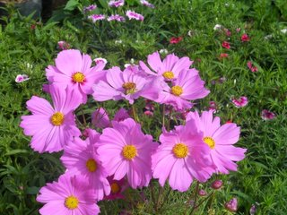 Udon Thani Garden Flowers