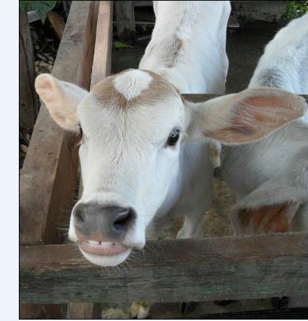 Young calf, kanchanaburi