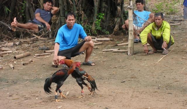 Muay Kai - Cock Fighting