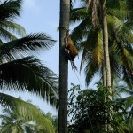 The Only Way is Up – Thailand's Coconut Monkeys