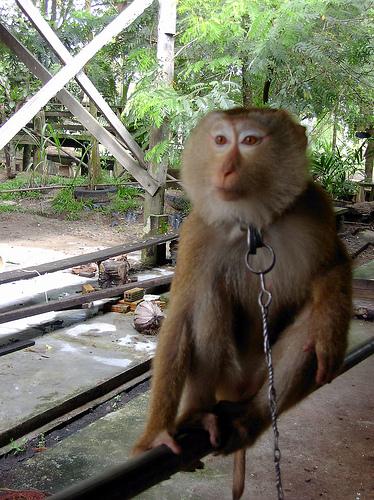 Surat Thanis First Monkey School