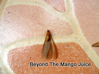 mang-mao-insect-thailand
