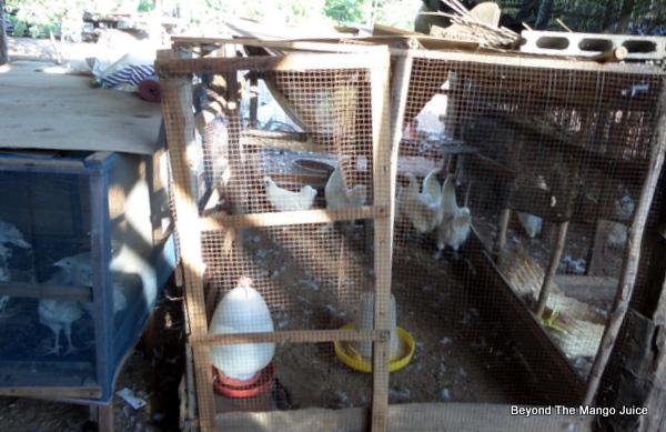 Japenese chickens in Thailand