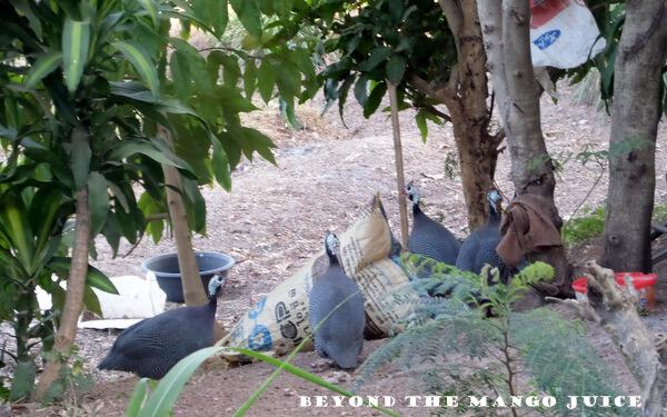 guinea fowl thailand