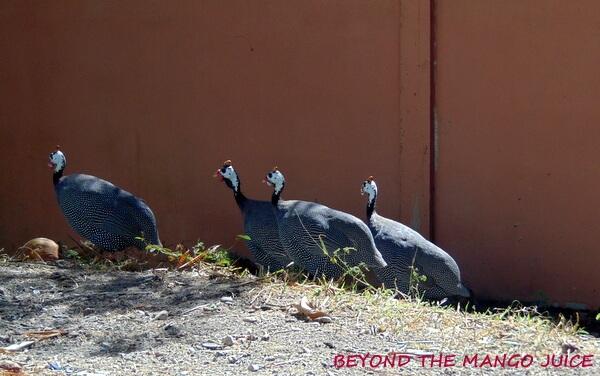 four thai guinea fowl