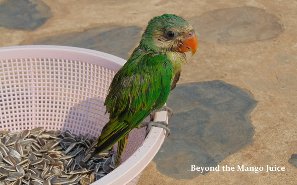 village life udon thani - parrot