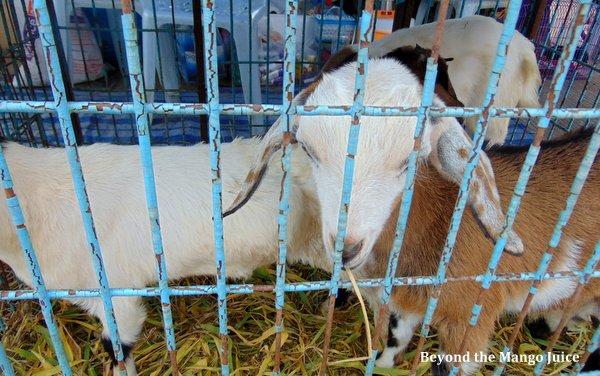 goats ban dung fair