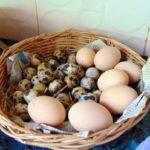 thai quail eggs
